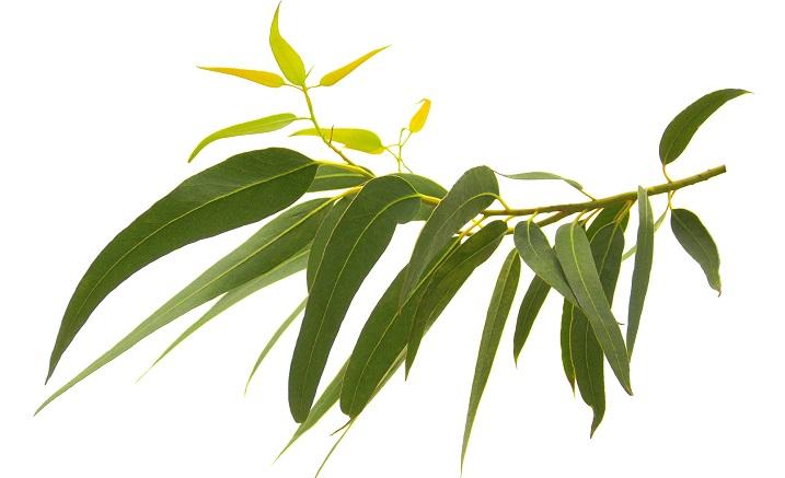 Image Huile essentielle d'Eucalyptus radiata